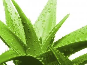 Aloe-Vera3