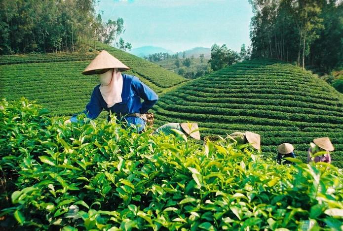 Bạn đã biết những công dụng của trà xanh đối với sức khỏe chưa